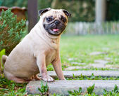 Pug the little guard dog in the garden — Stock Photo