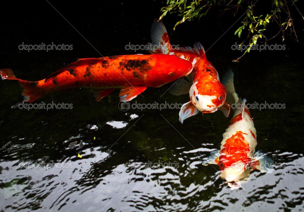 锦鲤鱼 — 照片作者 sinseeho