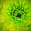 Vintage background. Green chrysanthemum — Stock Photo