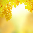 Yellow grapes growing on vine in bright sunshine  — Stock Photo