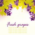 maduros cachos de uvas de vinho vermelhas em uma videira — Foto Stock