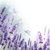Granicy kwiaty lawendy — Zdjęcie stockowe