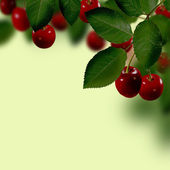 Cherries hanging on a cherry tree branch — Stock Photo