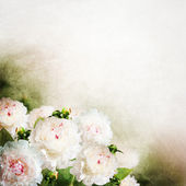 Beautiful white peony flowers — Stock Photo