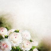 Beautiful white peony flowers — Stock Photo