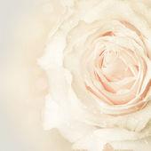Belle rose pastel. — Photo