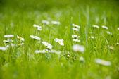 Kwiaty rumianku na trawie. — Zdjęcie stockowe