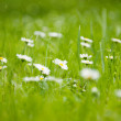 Chamomile flowers on the grass. — Stock Photo