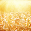 Foto Stock: Field of Dry Golden Wheat. Harvest Concept