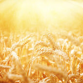 Field of Dry Golden Wheat. Harvest Concept — Stock Photo