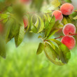Stock Photo: Sweet peach fruits growing on a peach tree branch
