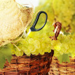 Fresh harvest of grapes. Vineyard theme with white grapes and basket on wooden background. — Stock Photo