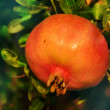 Red pomegranate fruit on the tree in leaves  — Stock Photo
