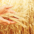 Wheat in hands. — 图库照片