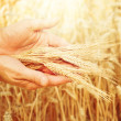 Wheat in hands. — Foto de Stock