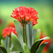 Clivia flower in bloom — Stock Photo