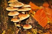 Sulphur Tuft (Hypholoma fasciculare) on a stump — Stock Photo