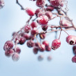 Winter background, red berries on frozen branches covered with hoarfrost — Stock Photo #34209339