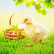 Sweet yellow easter duckling in grass with a basket full of easter eggs — Stock Photo