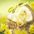Cute ducklings in wicker basket on the easter background. — Stock Photo