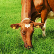 Cow relaxing on grass — Stock Photo