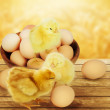 Small chicks and eggs.  — Stock Photo