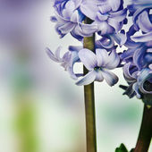 Spring flower. Blue hyacinth. — Stock fotografie