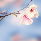 Beautiful magnolia on the sky background. — Foto Stock