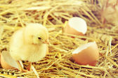 Little chicks in the hay with egg shell. — Foto de Stock