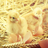 Little chicks in the hay with egg shell. — Стоковое фото