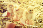 Little chicks in the hay with egg shell. — Stock Photo