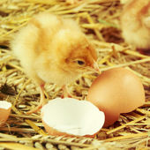 Little chicks in the hay with egg shell. — Stok fotoğraf