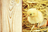 Little chicks in the hay with egg shell. — Foto Stock