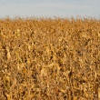 Dried corn field background — Stock Photo