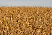 Dried corn field background — Stock Photo