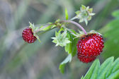 Wild strawberry (Fragaria vesca) — Stock Photo