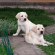 Labrador (retriever) puppies - Stock Photo