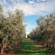 Olive tree field — Stock Photo