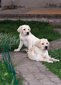 Labrador (retriever) puppies — Stock Photo