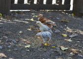 Three chickens in a row — Stock Photo