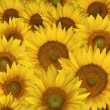 Sunflower petals background — Stock Photo #29899011