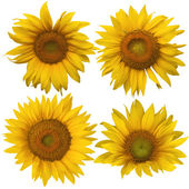 Four different sunflowers isolated against white — Stock Photo