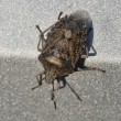 Stock Photo: Brown Marmorated Stink Bug