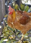 Jengibre gallina closeup — Foto de Stock