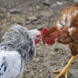 Stock Photo: Chicken fight