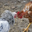 Chicken fight — Stock Photo