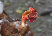 Red haired hen with a bare neck — Stock Photo
