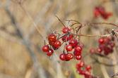 Autumn viburnum background — Stock Photo
