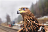 Golden eagle — Foto Stock
