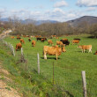 Cows grazing in green meadow beside secondary road - Stock Photo